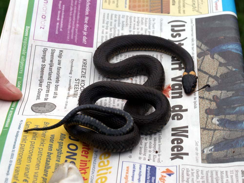Kinderen maken nieuwe broeihoop voor ringslangen